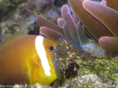 Amphiprion nigripes, Malediven - Anemonenfisch