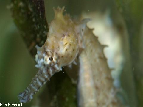 Hippocampus barbouri, Seepferdchen