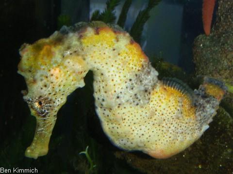 Hippocampus reidi, Langschnäuziges Seepferdchen