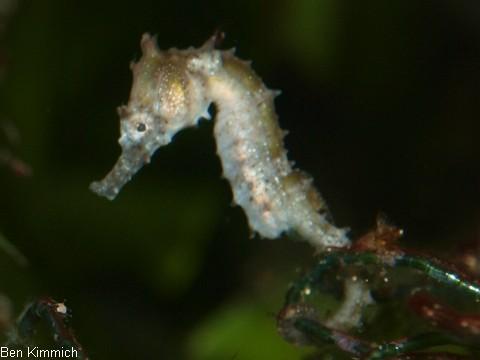 Hippocampus barbouri, Seepferdchen Tag 30