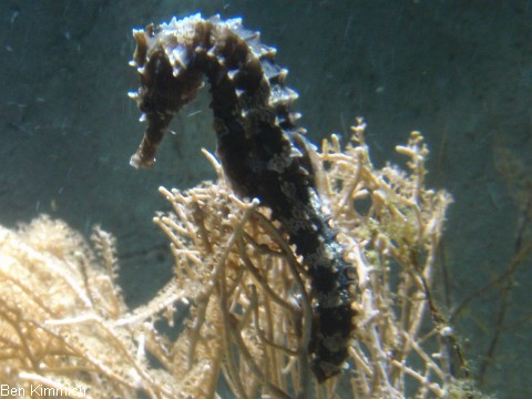 Hippocampus erectus, Seepferdchen