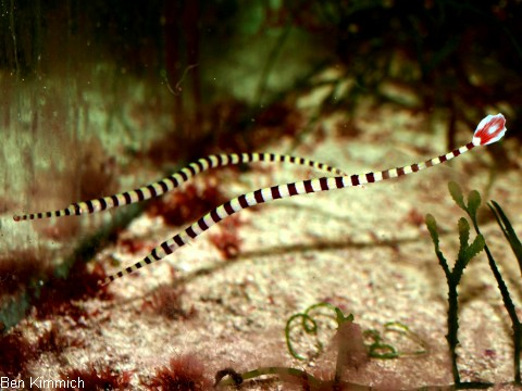 Doryrhamphus dactyliophorus, Zebra - Seenadel