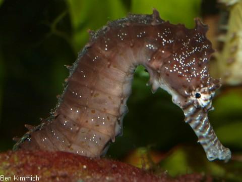 Hippocampus kimmich, Kimmichs Seepferdchen