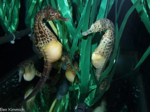 Hippocampus abdominalis, Neuseeland-Topfbauchpferdchen