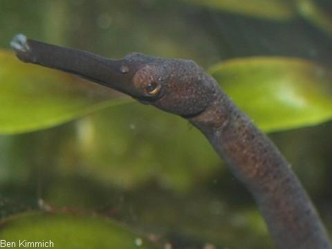 Trachyrhamphus longirostris, Zeigestock-Seenadel