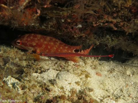 Dunckerocampus multiannulatus, Geringelte - Seenadel